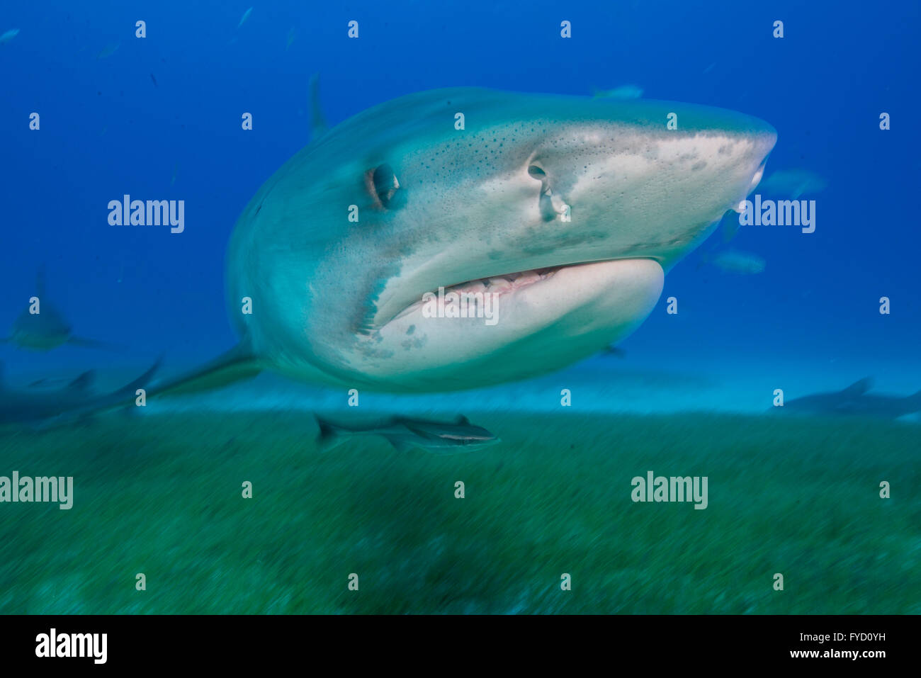 Tiger shark, Galeocerdo cuvier, swimming over seagrass, Bahamas - Stock Image