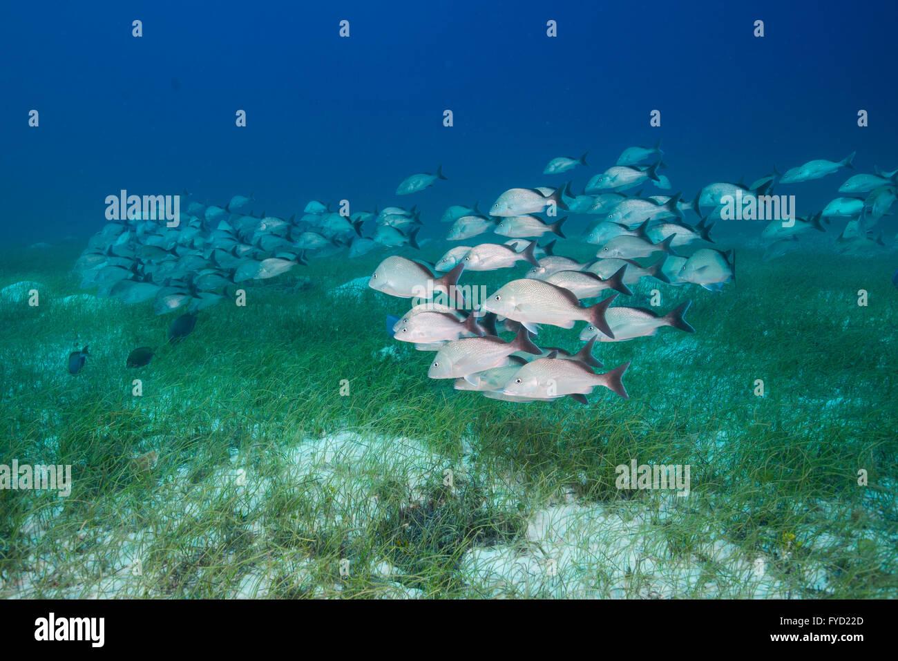 White margate, Haemulon album, a school swimming over seagrass, Bahamas - Stock Image