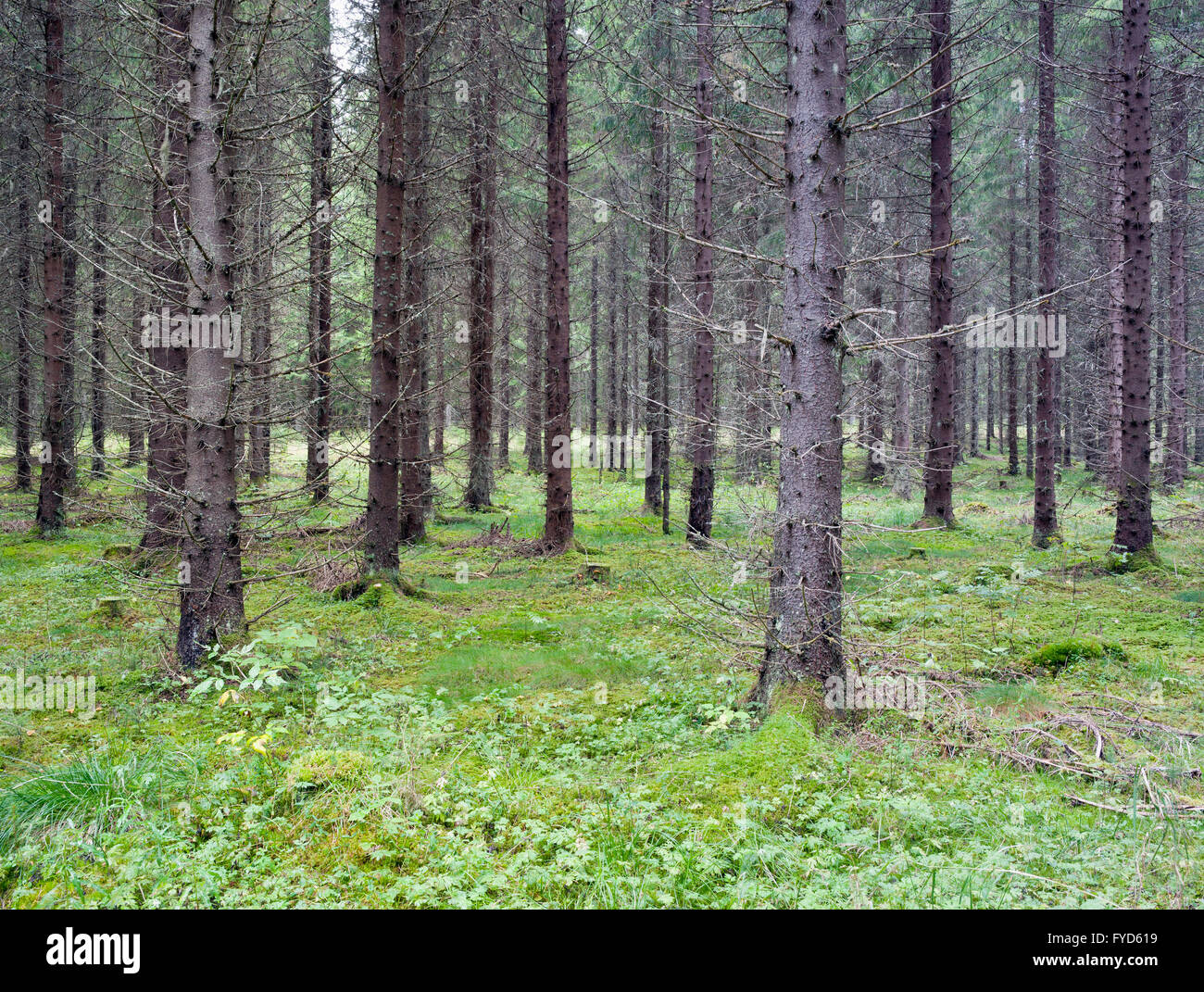 Spruce forest - Stock Image