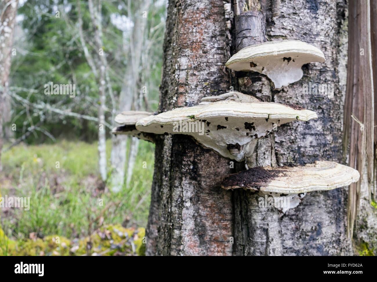 Tinder fungus (Fomes fomentarius) - Stock Image
