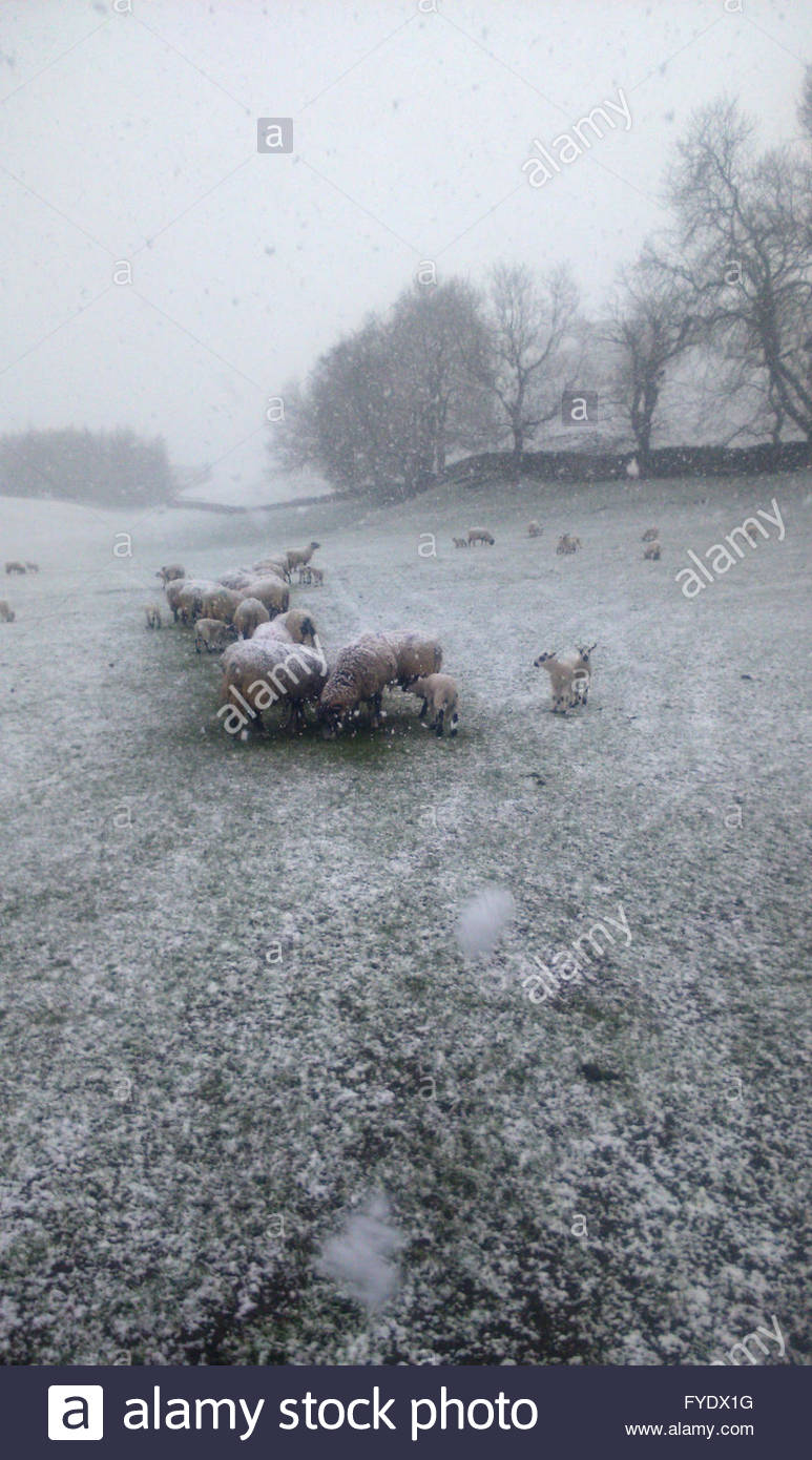 Nr Middleton-in-Teesdale, Co Durham UK  26th April 2016. Near Middleton-in-Teesdale as the snow falls on the sheep - Stock Image