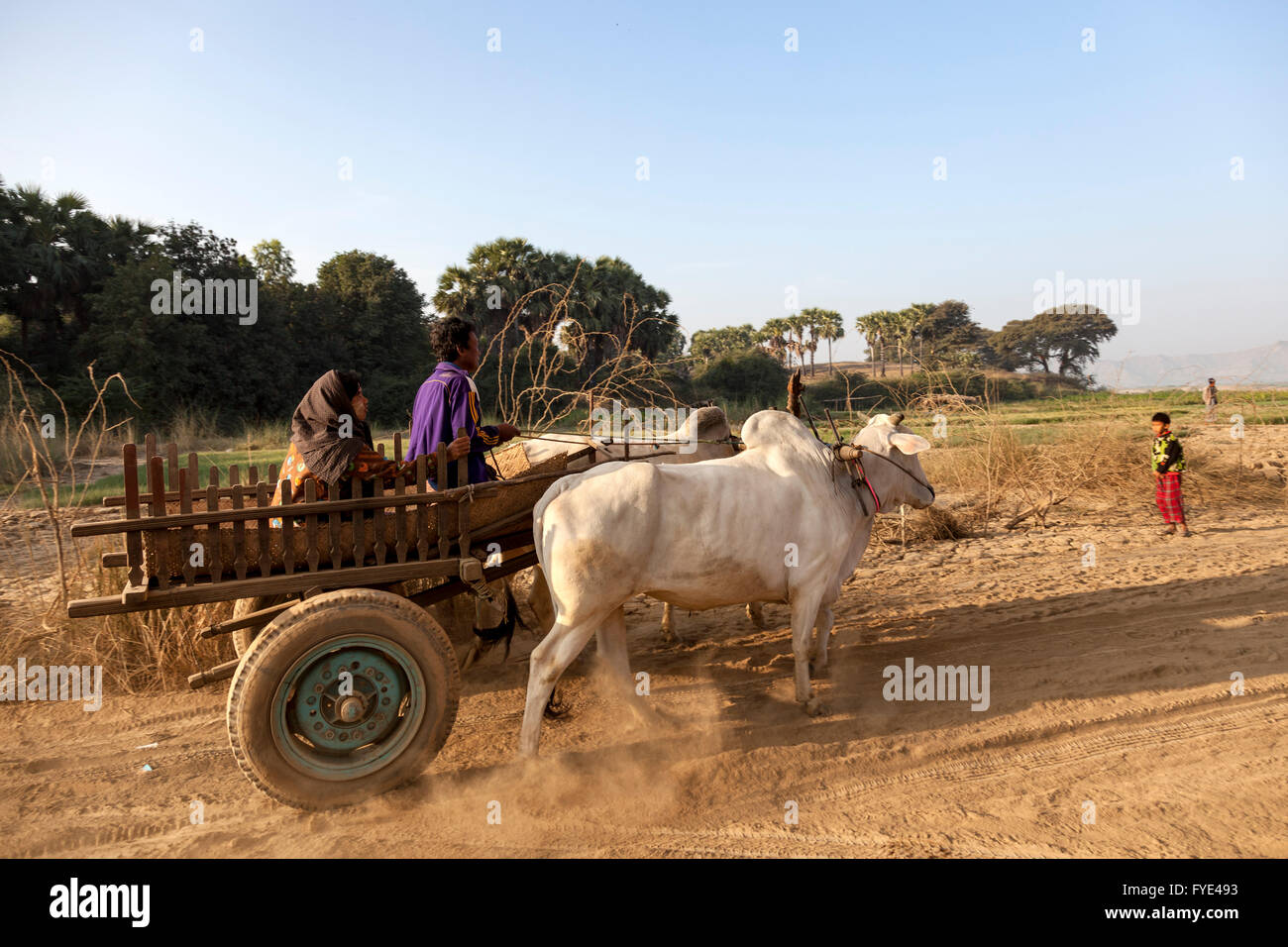 A Burmese couple of small farmers with their hitching up (Old Bagan - Myanmar). Couple de petits fermiers et son - Stock Image
