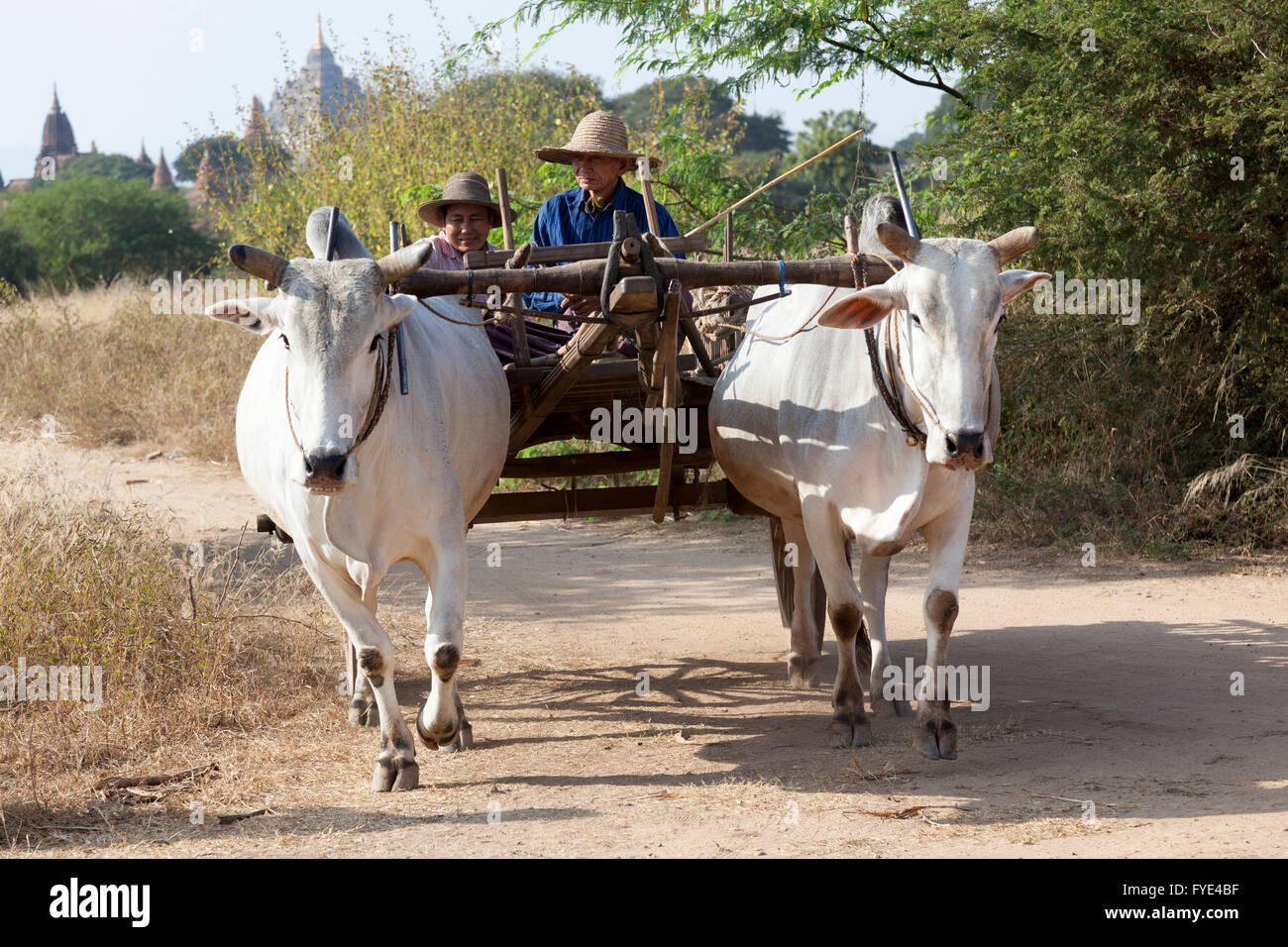 A Burmese couple of small farmers with their hitching up (Bagan - Myanmar). Couple de petits fermiers Birmans et - Stock Image