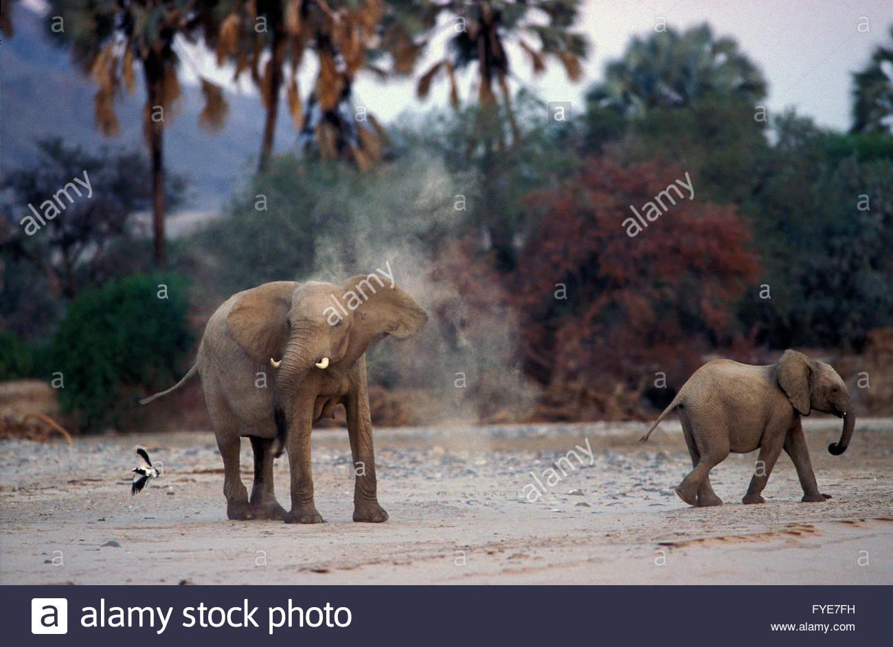 Elephants of desert on Skeleton coast Namibia. - Stock Image