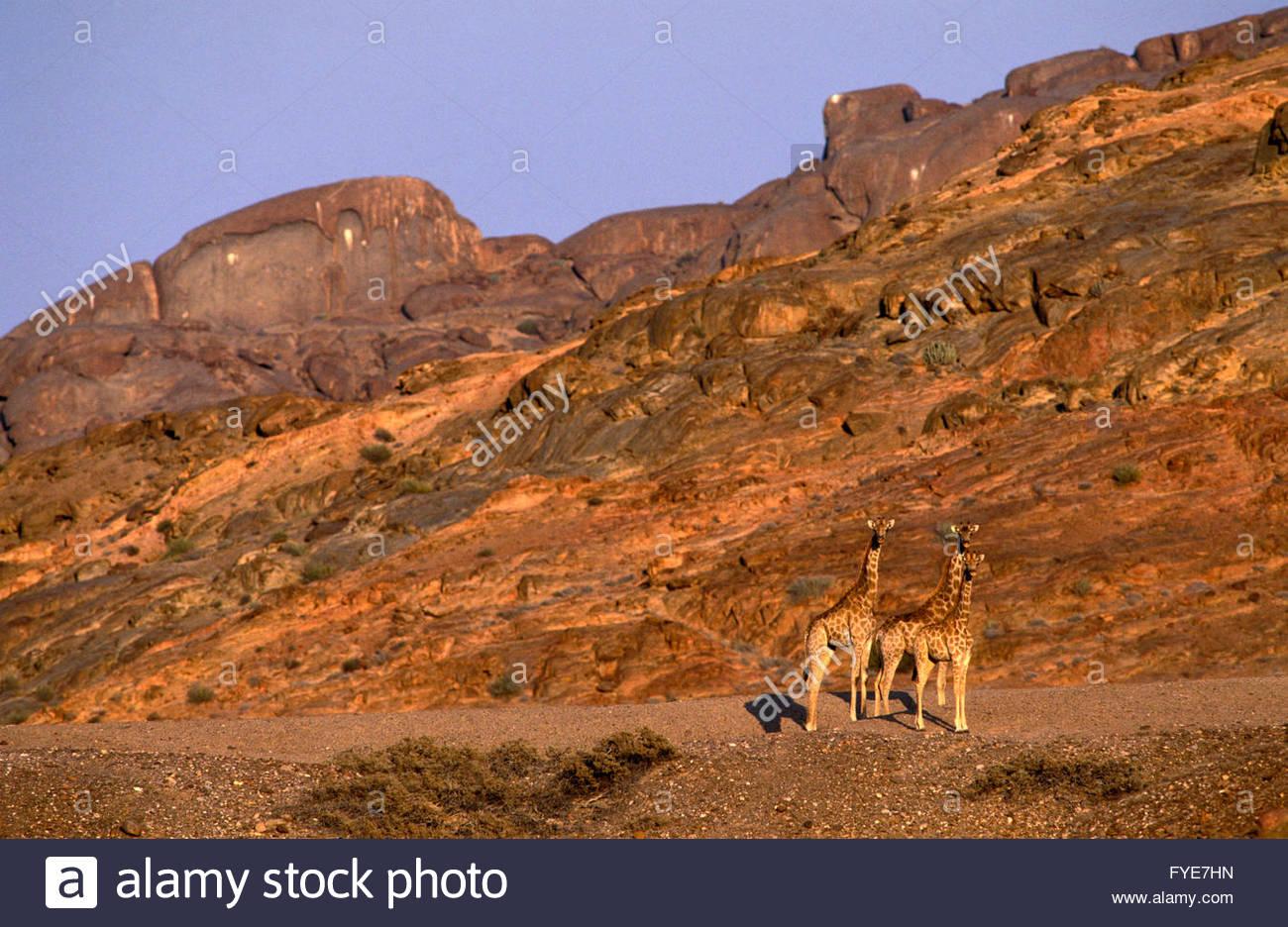 Girafes on Skeleton coast Namibia. - Stock Image