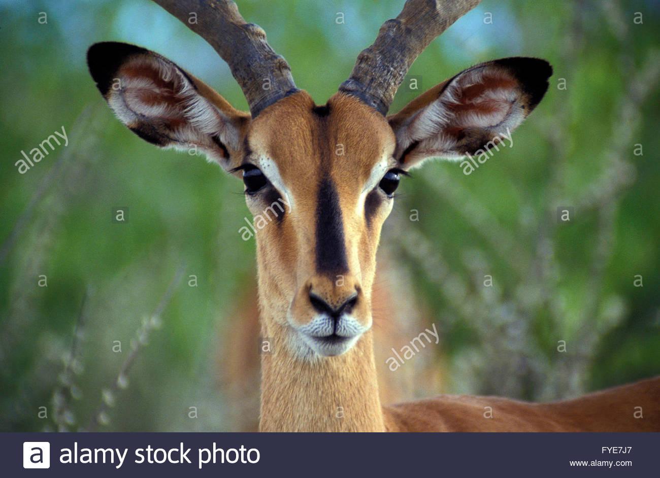 Impala antelope, National Park of Etosha Namibia. - Stock Image