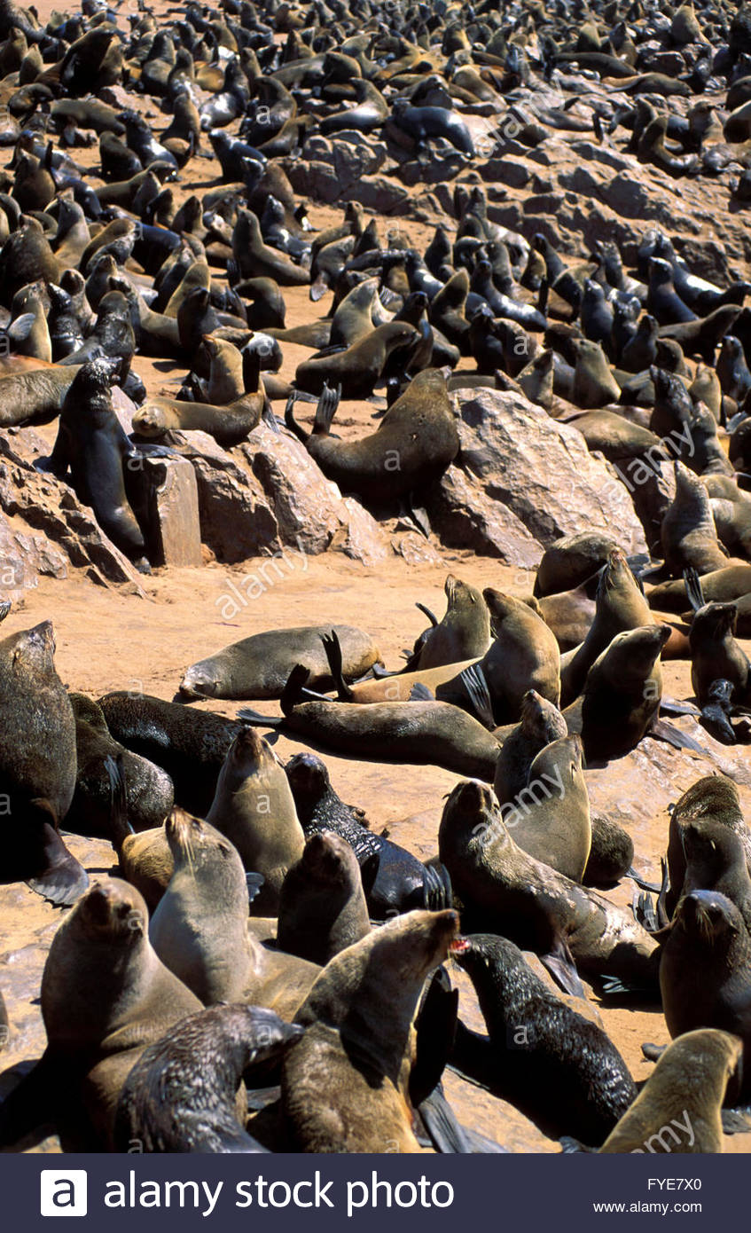 Group of Seals at Cape Frio Namibia. - Stock Image