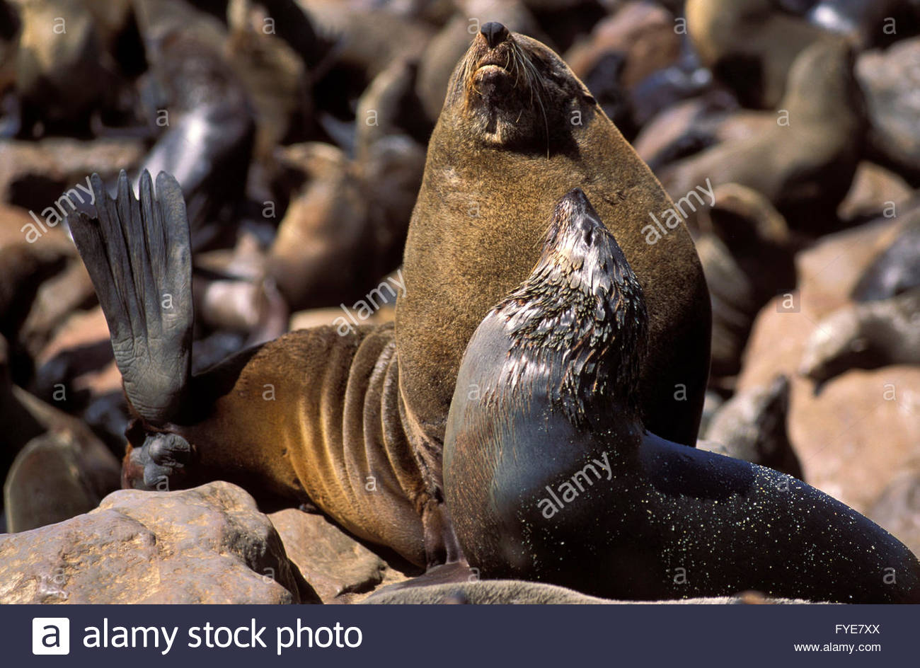 Group of Seals at Cape Cross Namibia - Stock Image