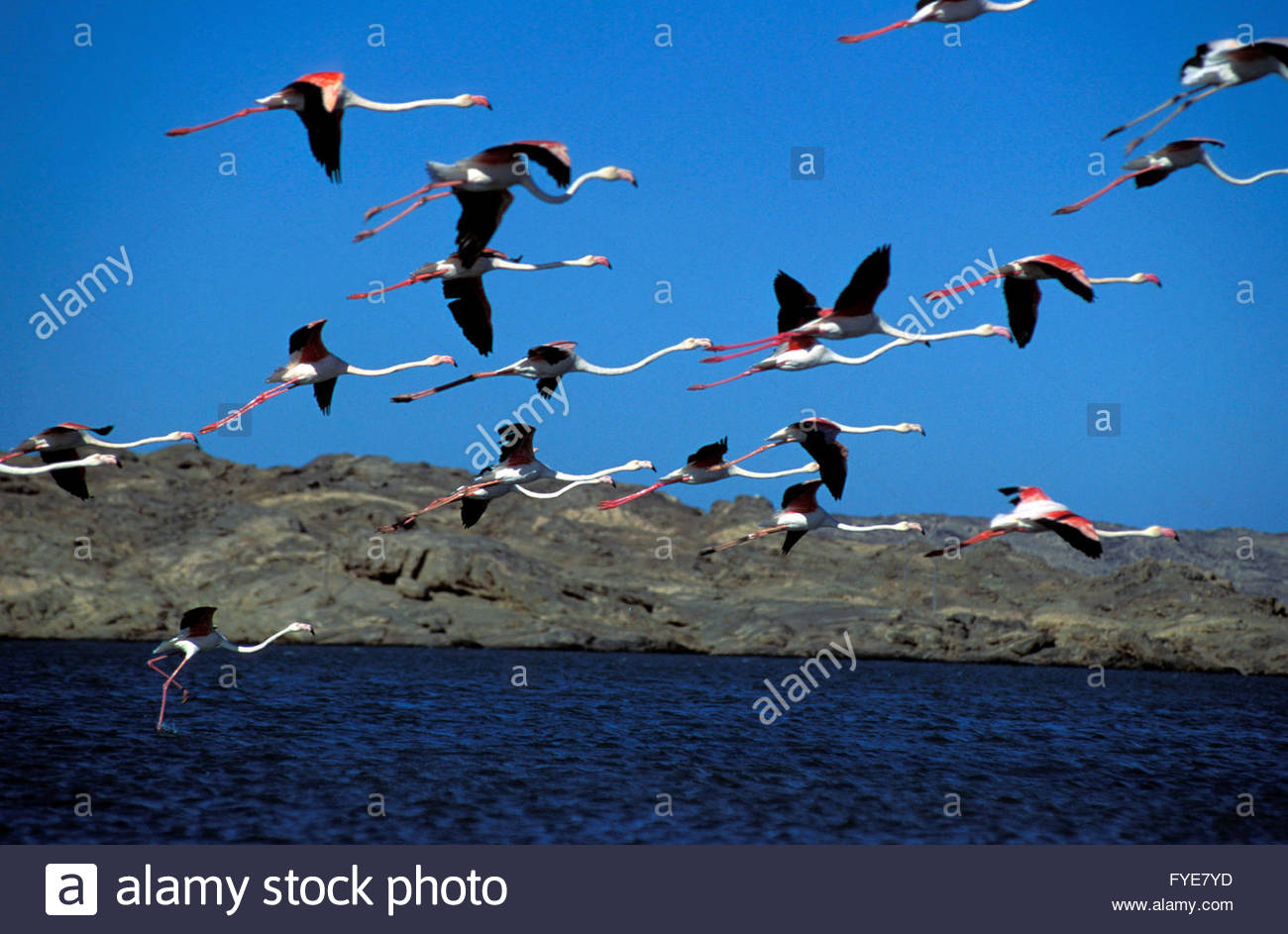 Flamingoes in the Namib desert Namibia. - Stock Image