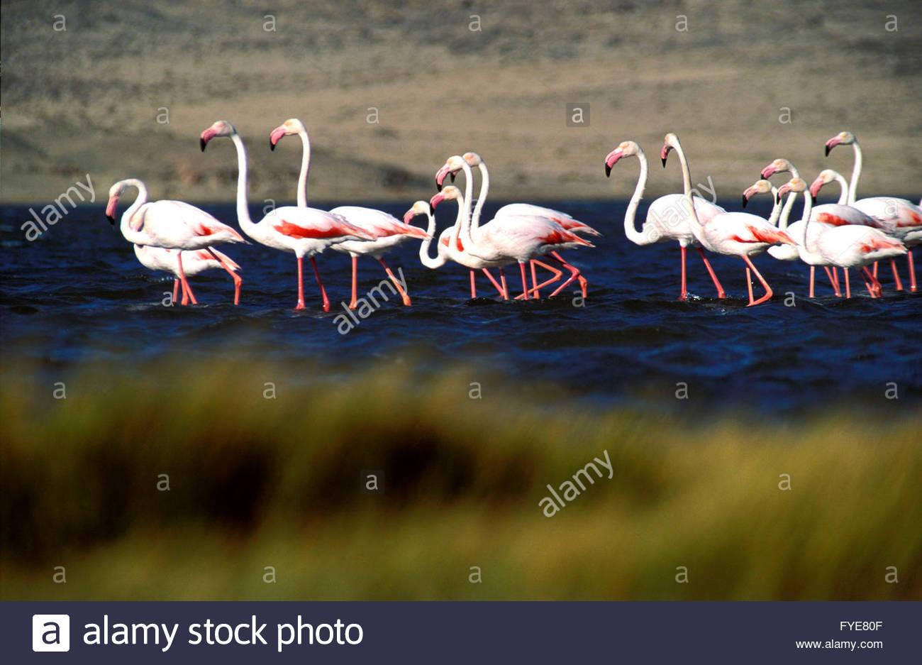 Flamingoes in the Namib desert Namibia. - Stock Image