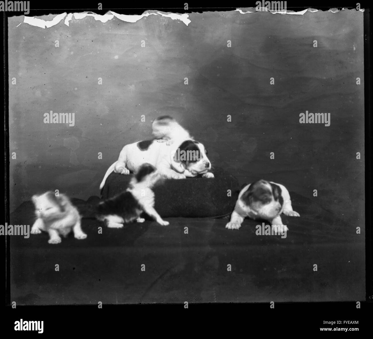 Victorian photograph of puppies - Stock Image