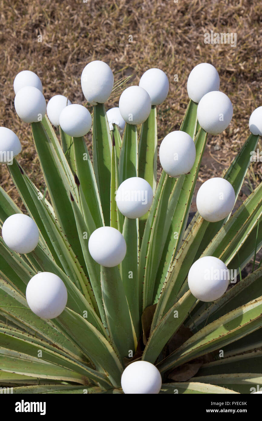 Funny and creative solution to protect people from the prickles of a cactus just placing empty eggs on its prickles - Stock Image