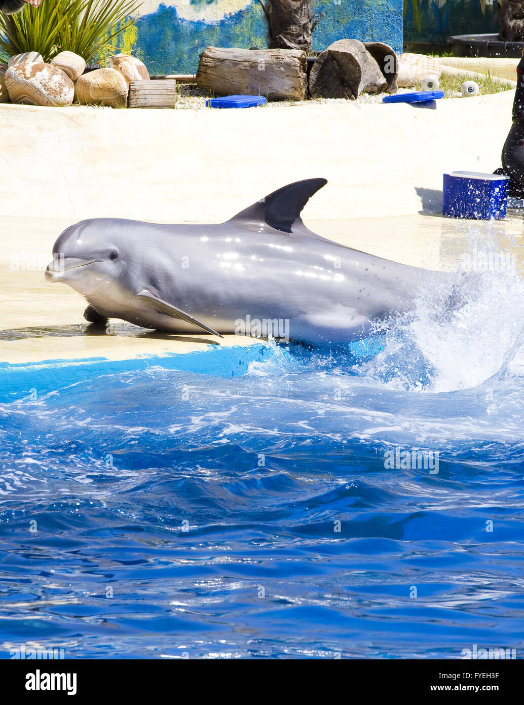 dolphin jump out of the water in sea - Stock Image