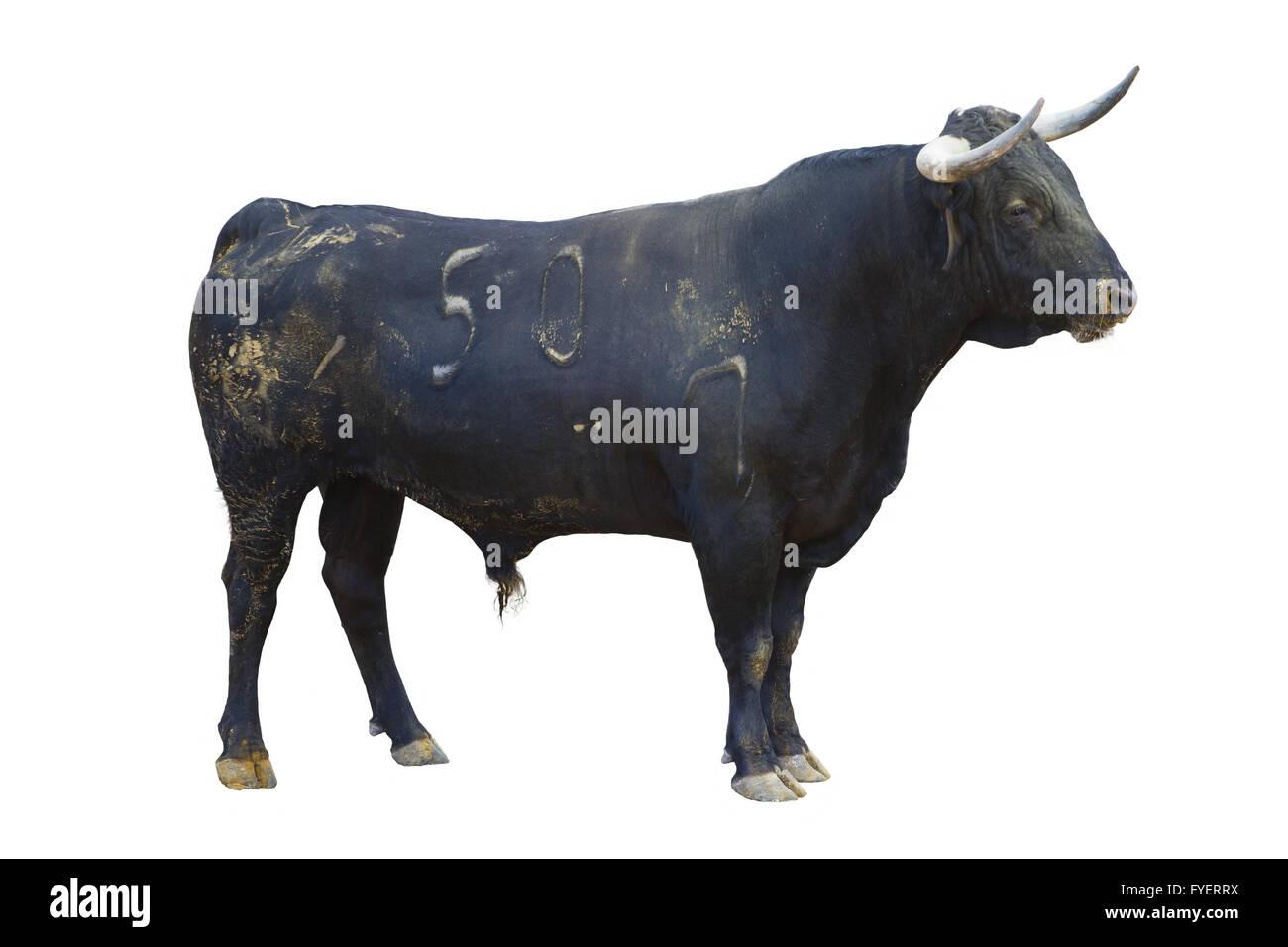 Powerful Bull Isolated On White Spanish Bullfight
