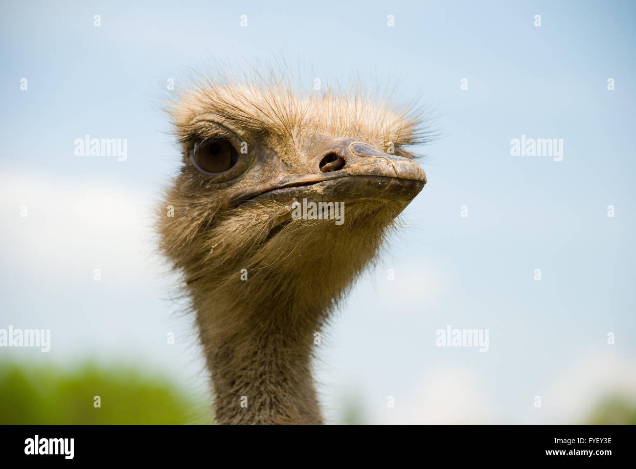 Portrait of ostrich on the nature - Stock Image