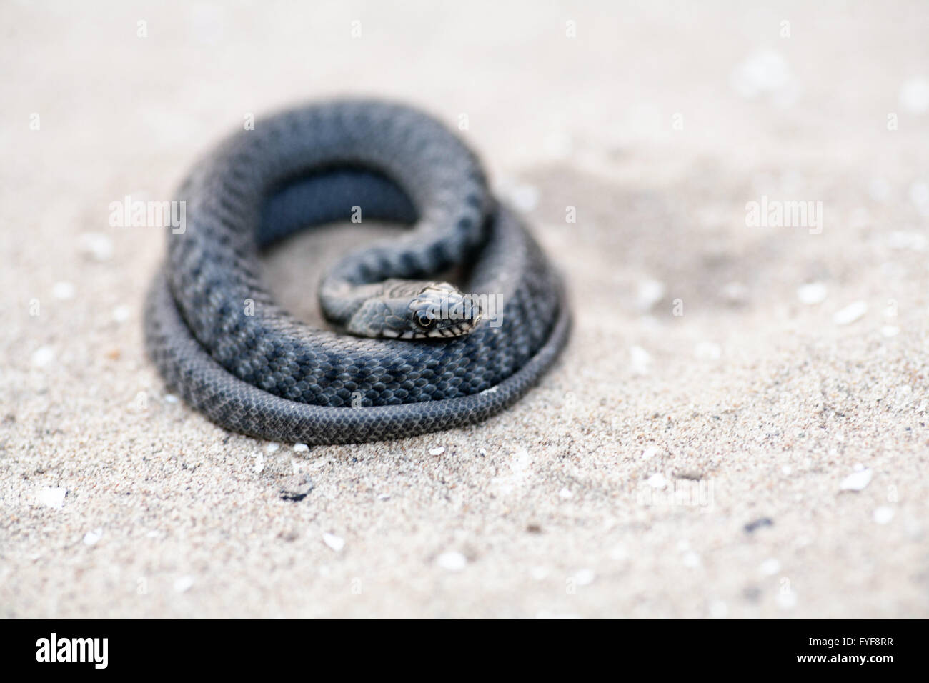 An angry serpent coiled and ready to strike. - Stock Image