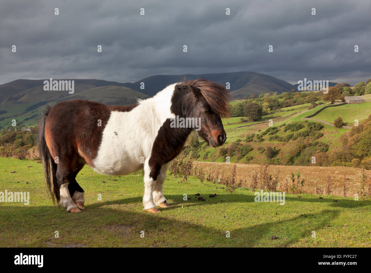 fell and dales breeds of ponies roam free in the yorkshire dales