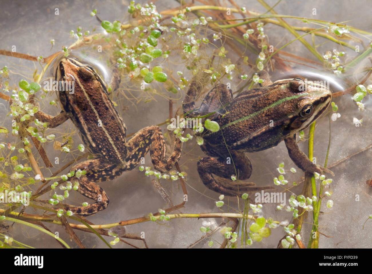 Pool Frog (Pelophylax lessonae). Second year old specimens. - Stock Image