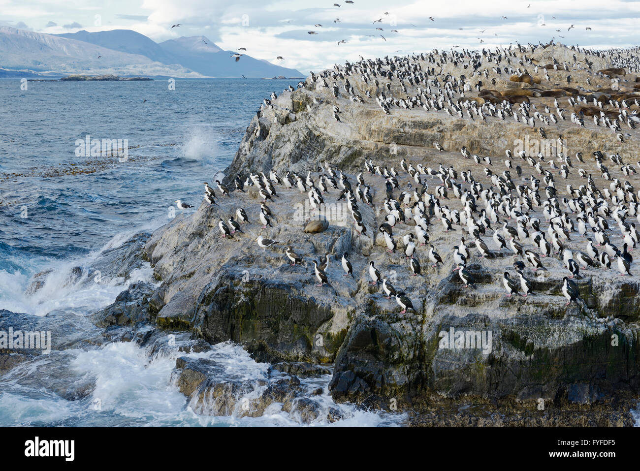 Colony of King Cormorants and Sea Lions, Beagle Channel, Tierra Del Fuego, Argentina - Stock Image