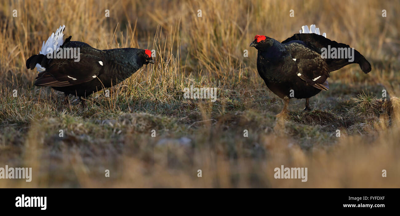 Male Black Grouse, Blackgame or Blackcock (Tetrao tetrix) displaying at the lek. Scotland, UK. - Stock Image