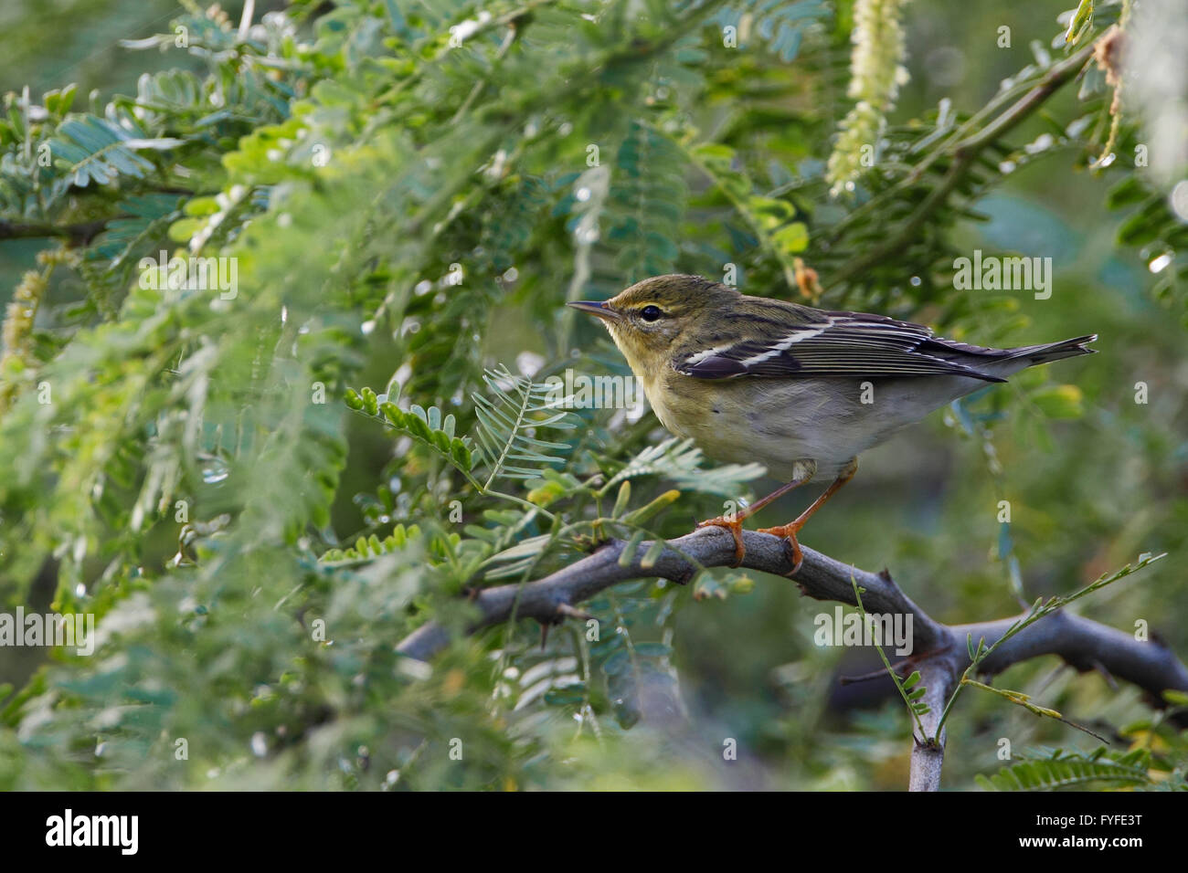 Blackpoll Warbler (Setophaga striata) foraging in bushes, Guanica Dry Forest, Puerto Rico - Stock Image