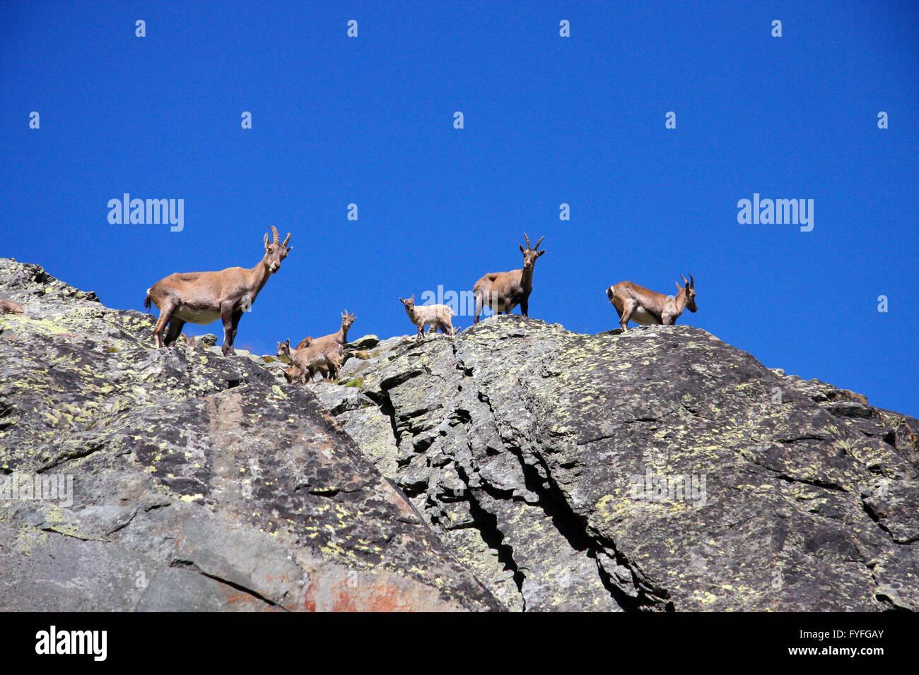 Steinbockfamilie, schweizer Alpen. - Stock Image