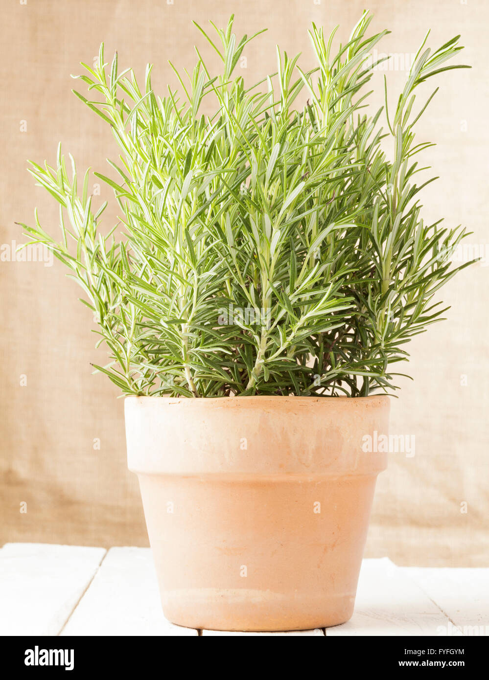 Rosmarinus officinalis, Rosemary plant in pot - Stock Image