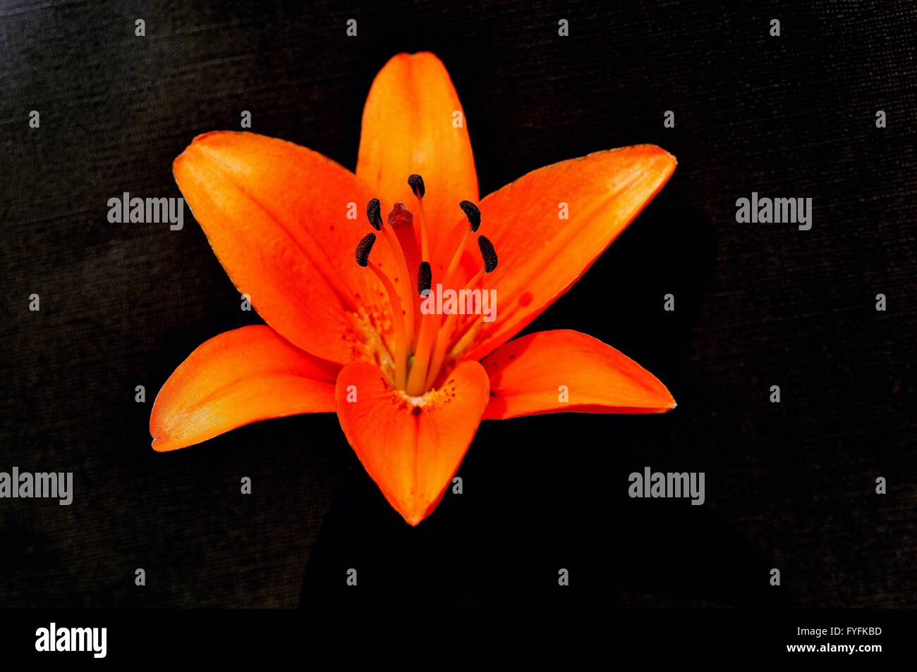 An orange tiger lily flower stock photo 102992049 alamy an orange tiger lily flower izmirmasajfo