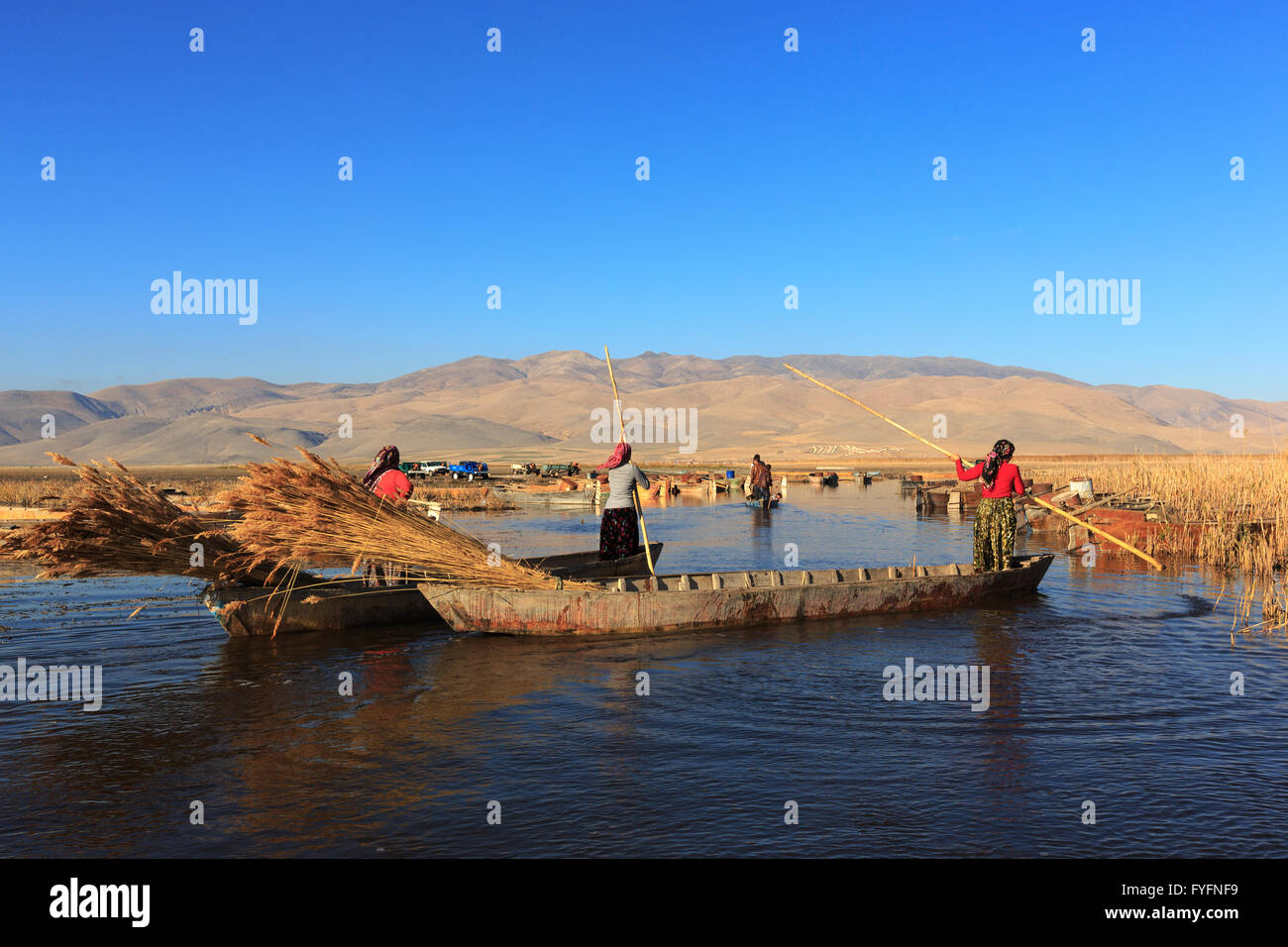 Woman workers harvest reeds and bulrush from the Lake Eber in Afyon,Turkey and sells them to the matting industry. - Stock Image