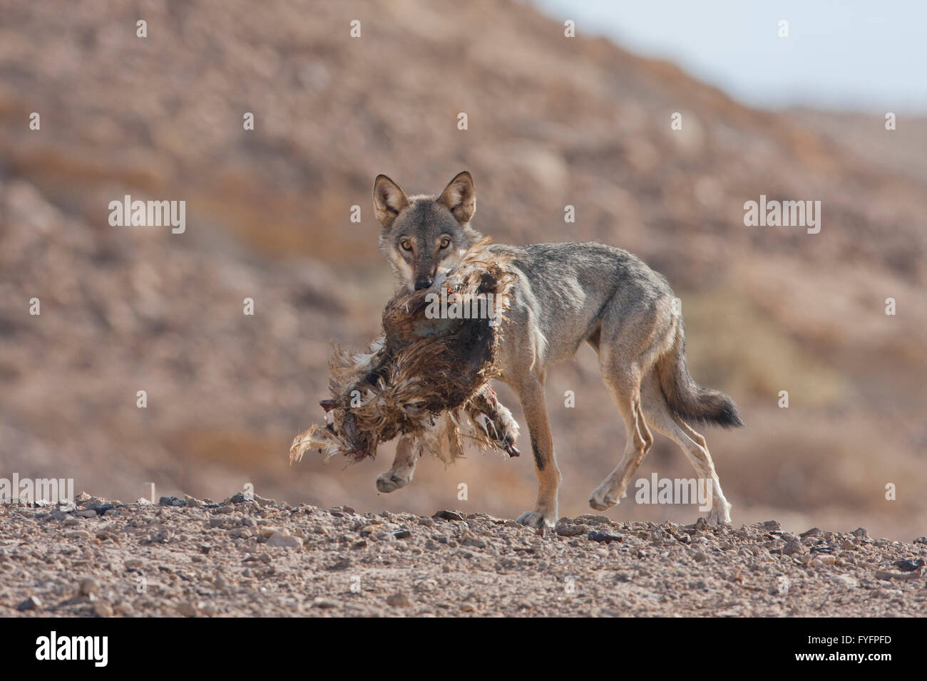 Arabian wolf (aka desert wolf Canis lupus arabs). with prey. This wolf is  subspecies of gray wolf. Photographed - Stock Image