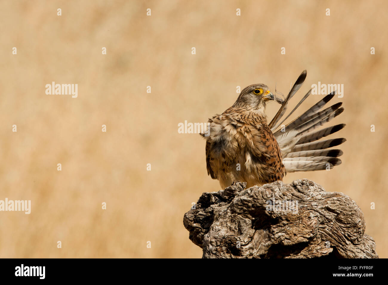 Common kestrel (Falco tinnunculus) female cleans its feathers. This bird of prey is a member of the falcon (Falconidae) - Stock Image