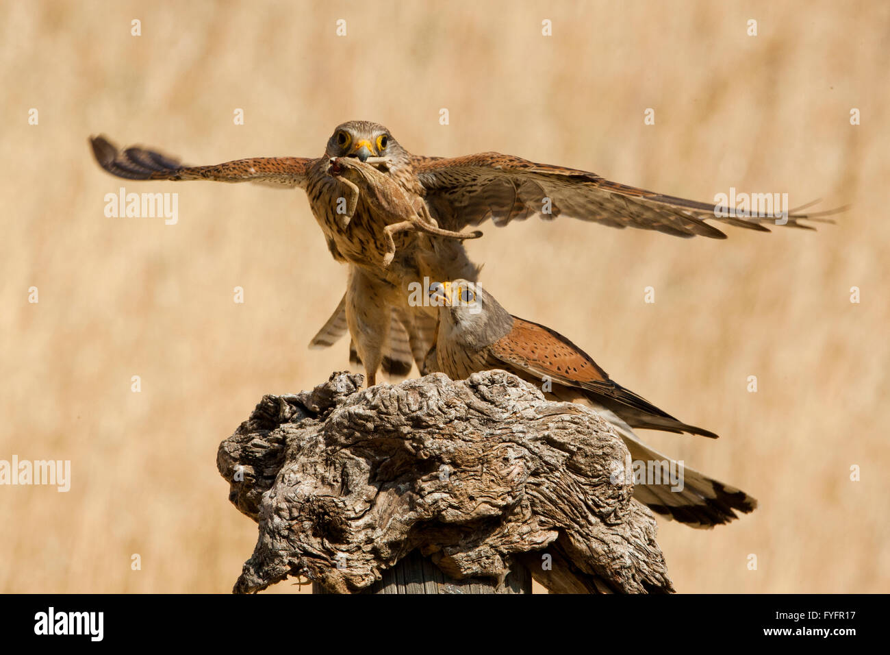 Common kestrel (Falco tinnunculus) female flies off with a chameleon caught by the male. This bird of prey is a Stock Photo