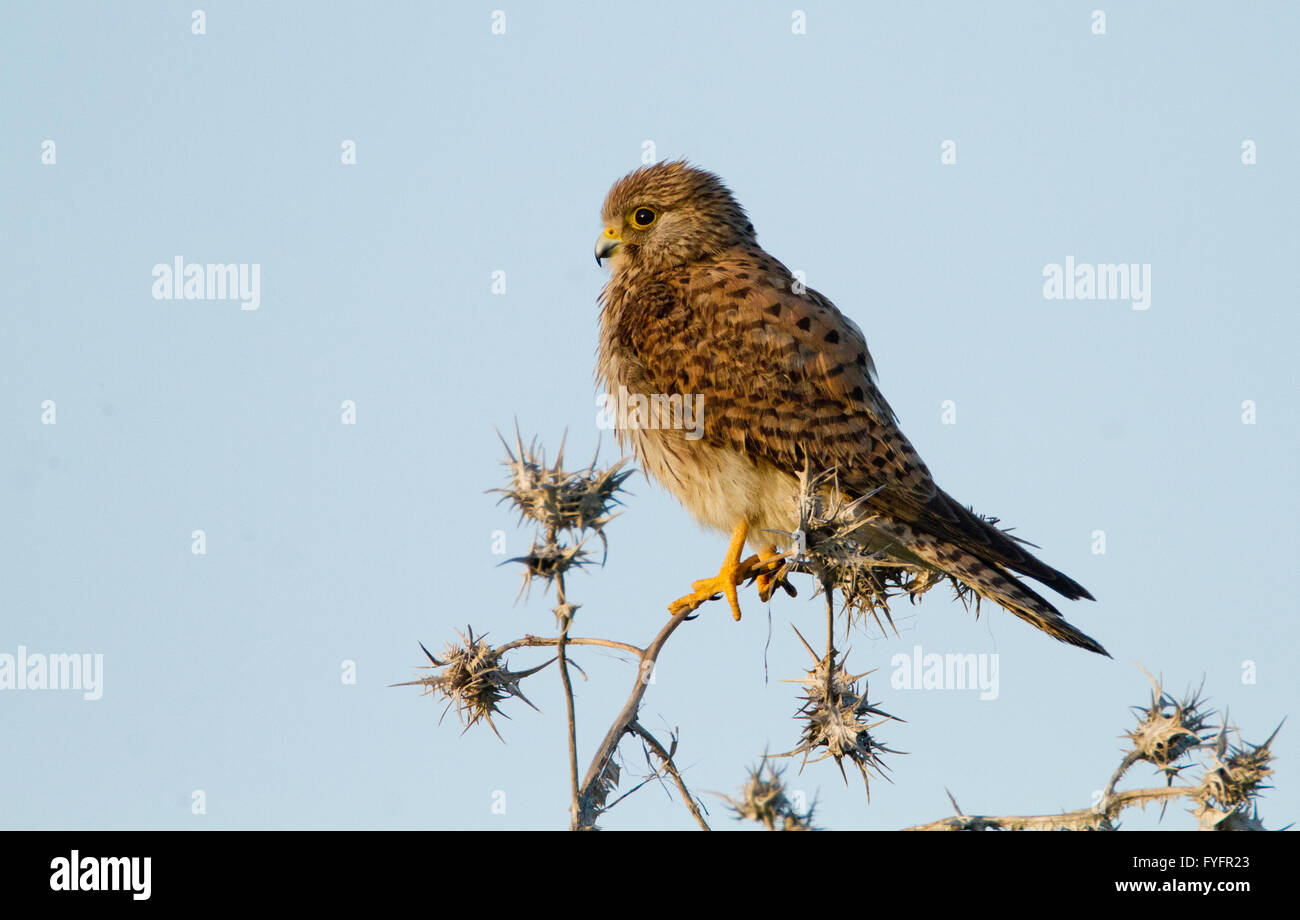 Common kestrel (Falco tinnunculus) perched on a branch. This bird of prey is a member of the falcon (Falconidae) - Stock Image