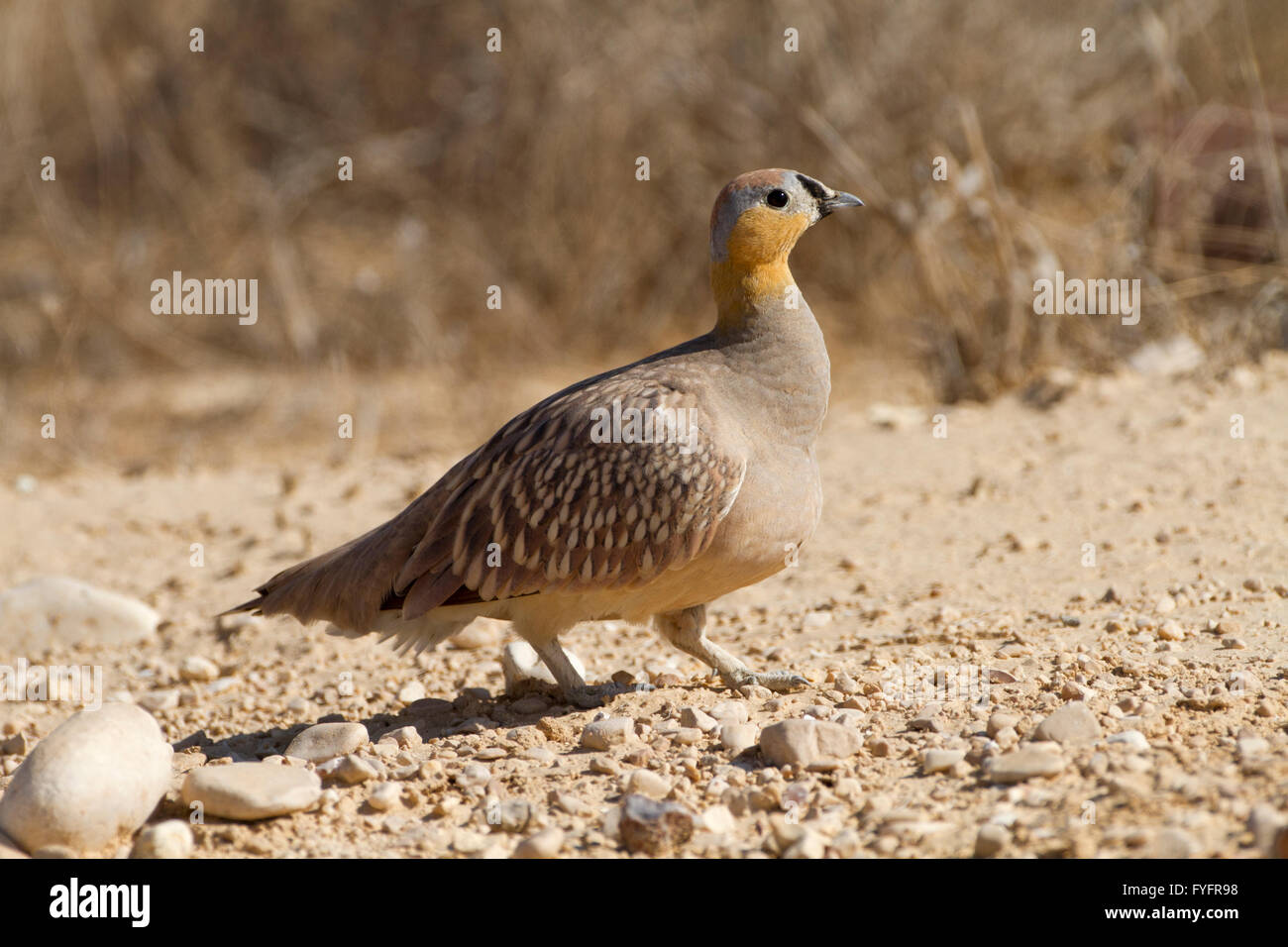 Crowned Sandgrouse (Pterocles coronatus) walking in the desert, negev, israel Stock Photo