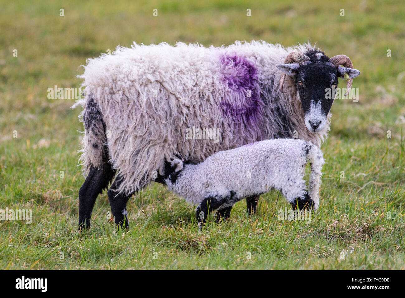 Mother ewe Swaledale sheep with a suckling lamb in a field. - Stock Image