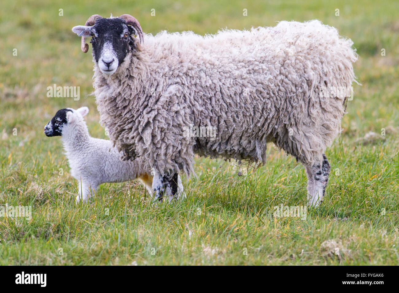 Mother ewe Swaledale sheep with lamb in a field. Female swaledale sheep have horns. - Stock Image
