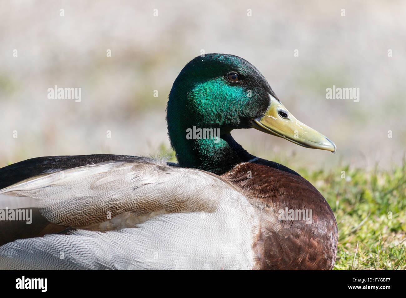 Portrait of male Mallard duck. Anas platyrhynchos  Family: ANATIDAE - Stock Image