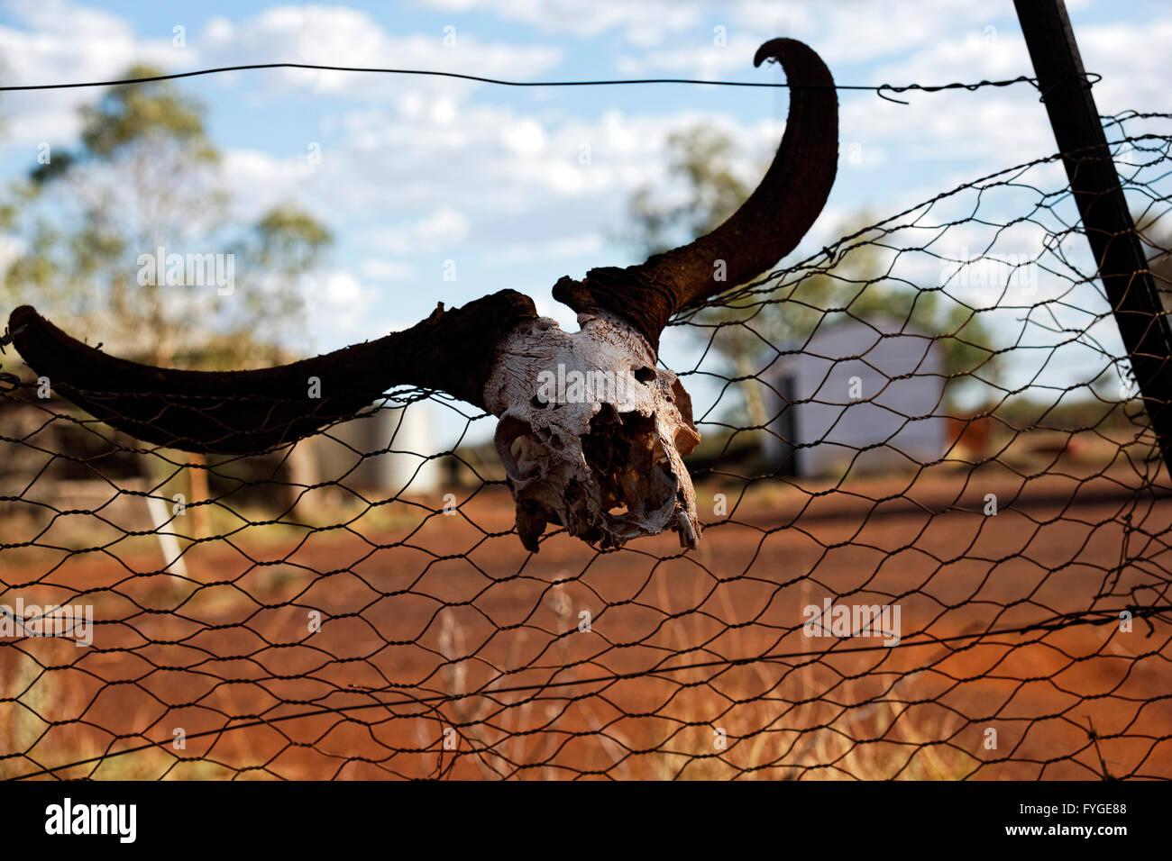 Animal skull on wire fence, Lake Mason, abandoned outback homestead, Central Midlands Western Australia - Stock Image