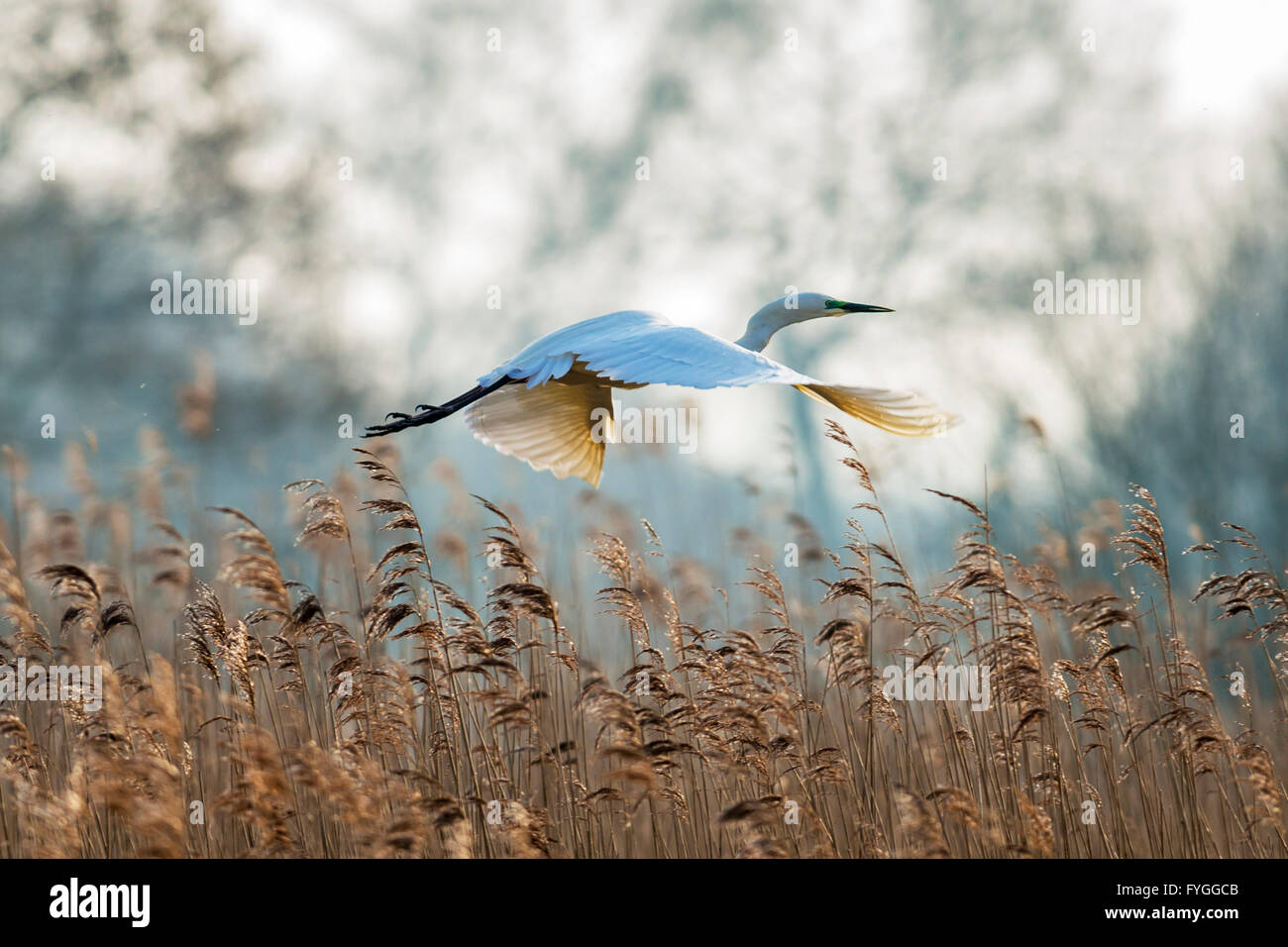 A great egret gliding over reeds - Stock Image