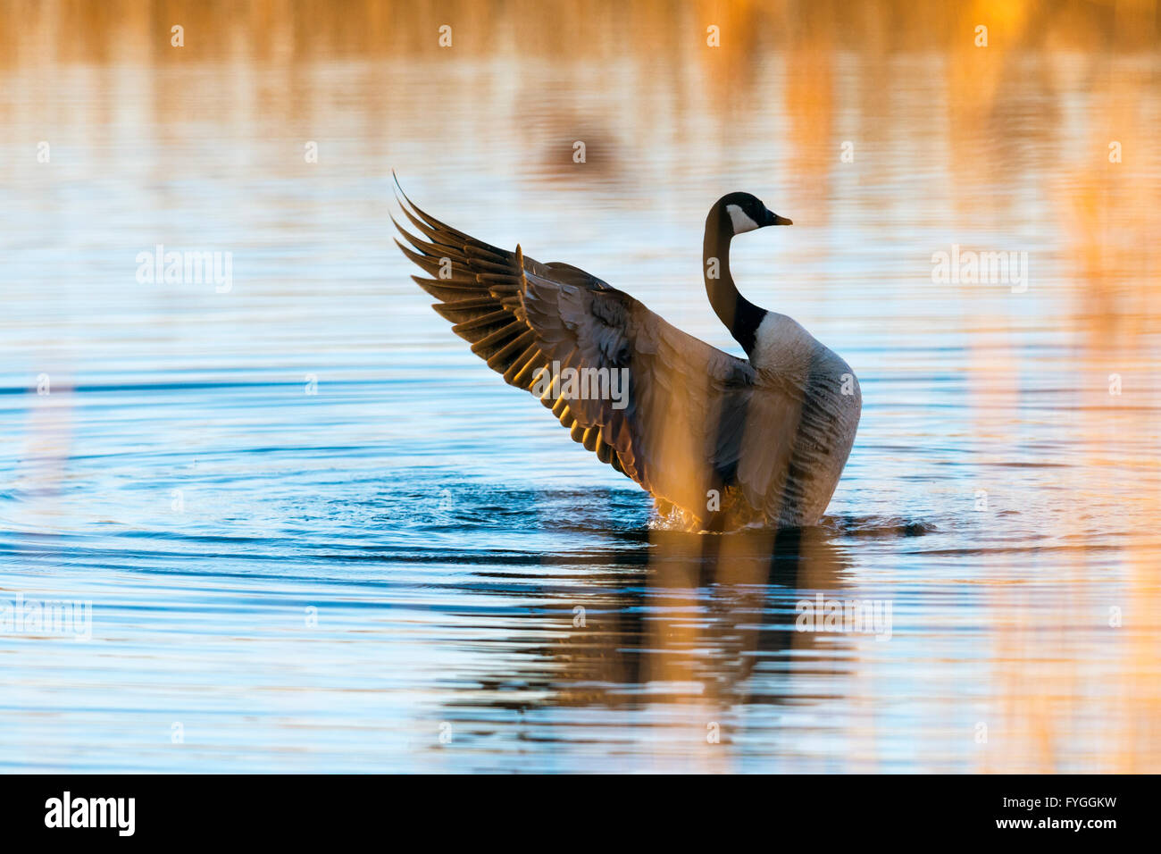 View of a Canada goose, through sunlit reeds - Stock Image