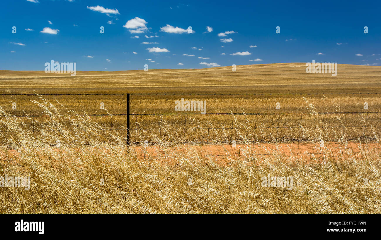 A wheat field in the countryside near Orroroo, South Australia. - Stock Image