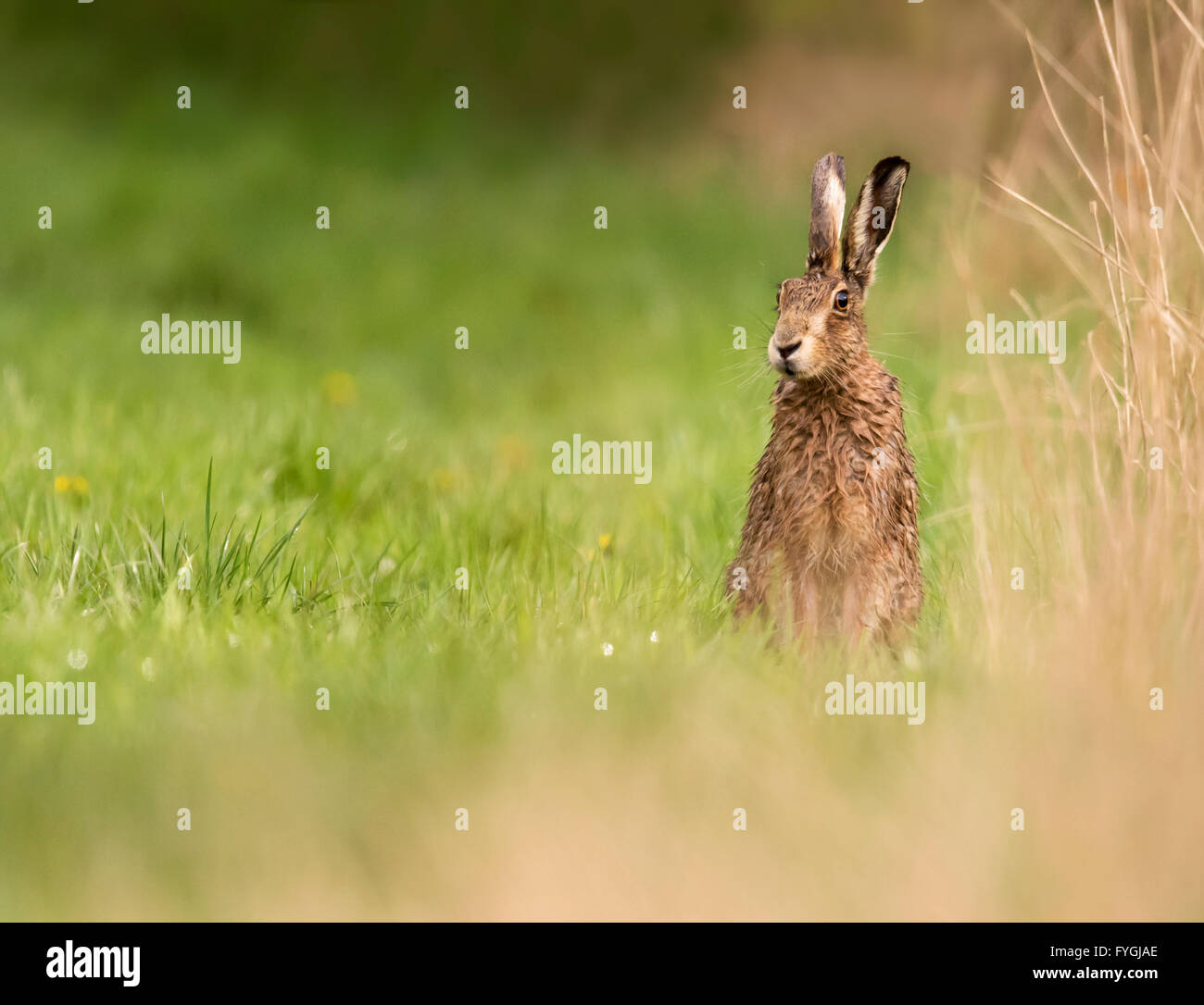 A rather wet Brown Hare Lepus europaeus takes a look around after the rain , Warwickshire - Stock Image