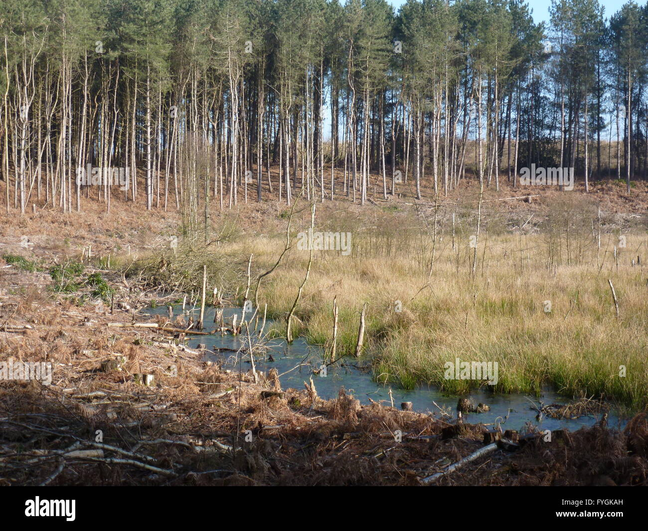 Hogshead Moss at Delamere Cheshire - Stock Image