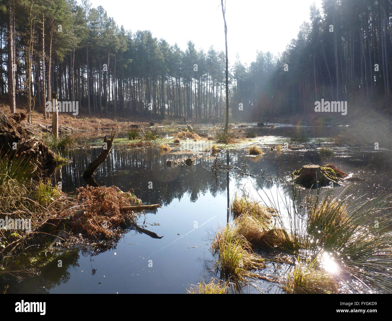 Acid pool pond Delamere Forest Cheshire - Stock Image
