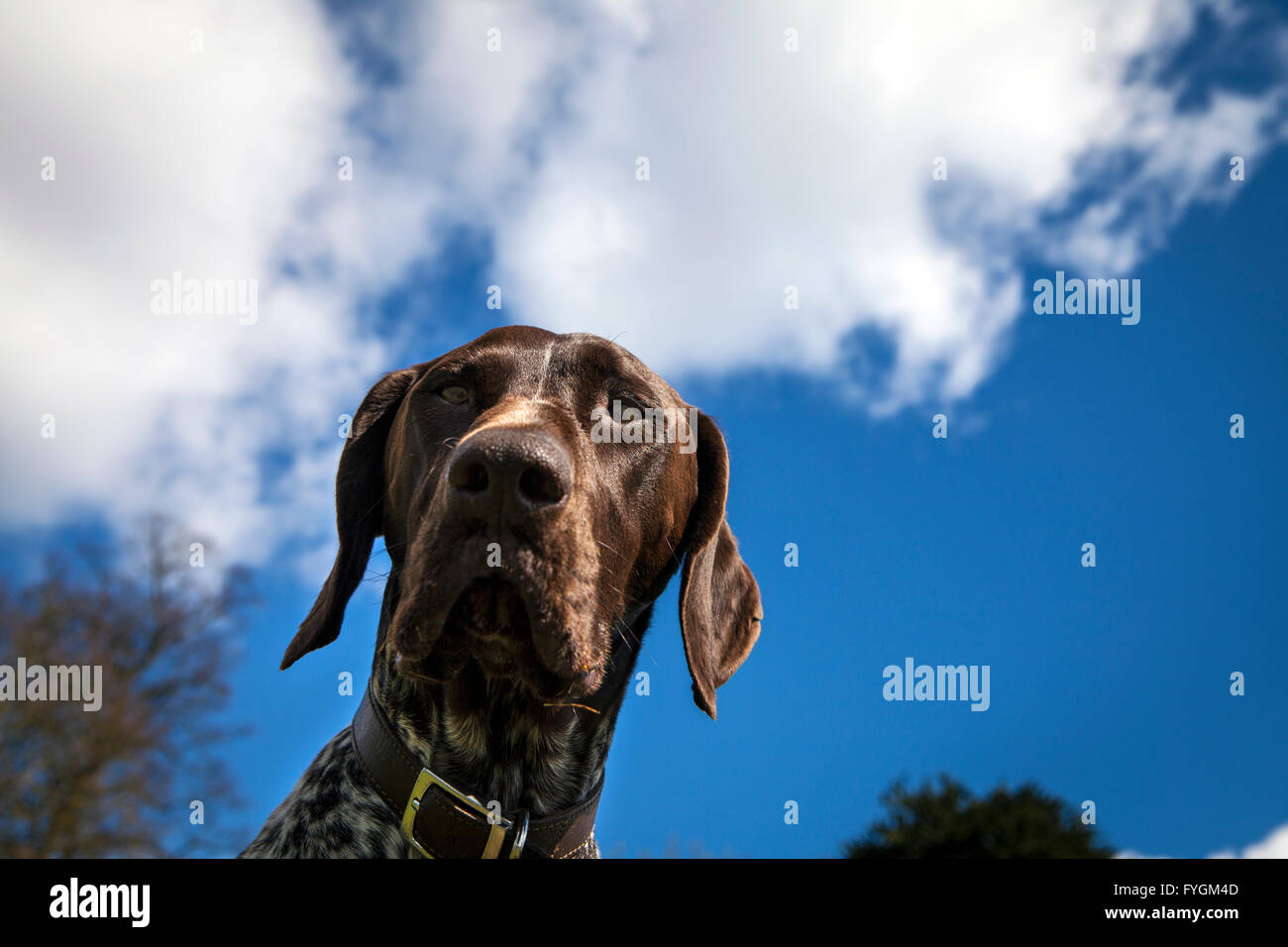Portrait of German Shorthaired Pointer Dog - Stock Image