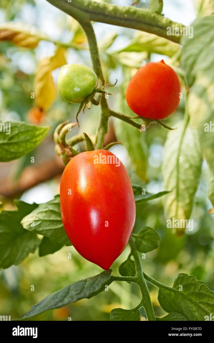 Red oblong tomatoes in greenhouse - Stock Image