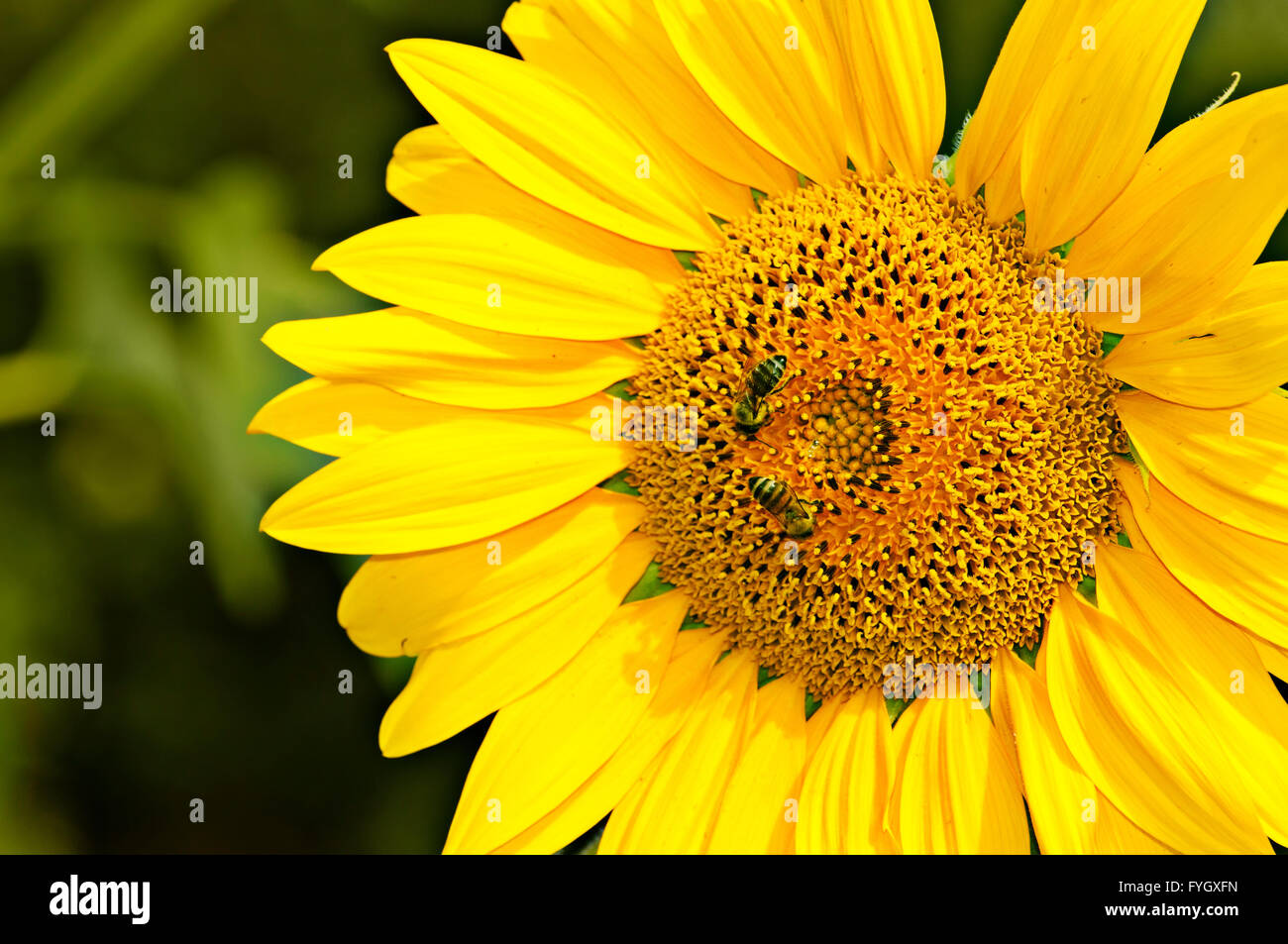 Yellow sunflower is pollinated by bees - Stock Image