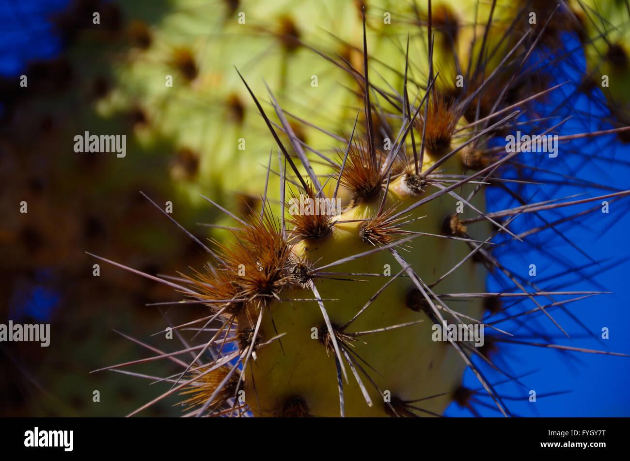 Closeup of cactus spines - Stock Image