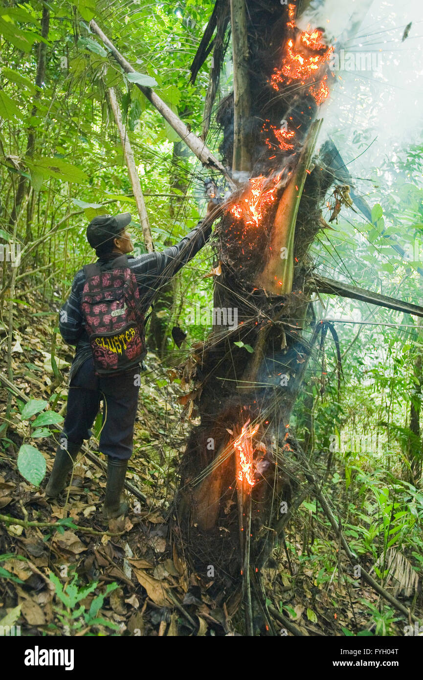 Hunter smokes out Cuscus in rainforest palm, Central Sulawesi, Indonesia - Stock Image