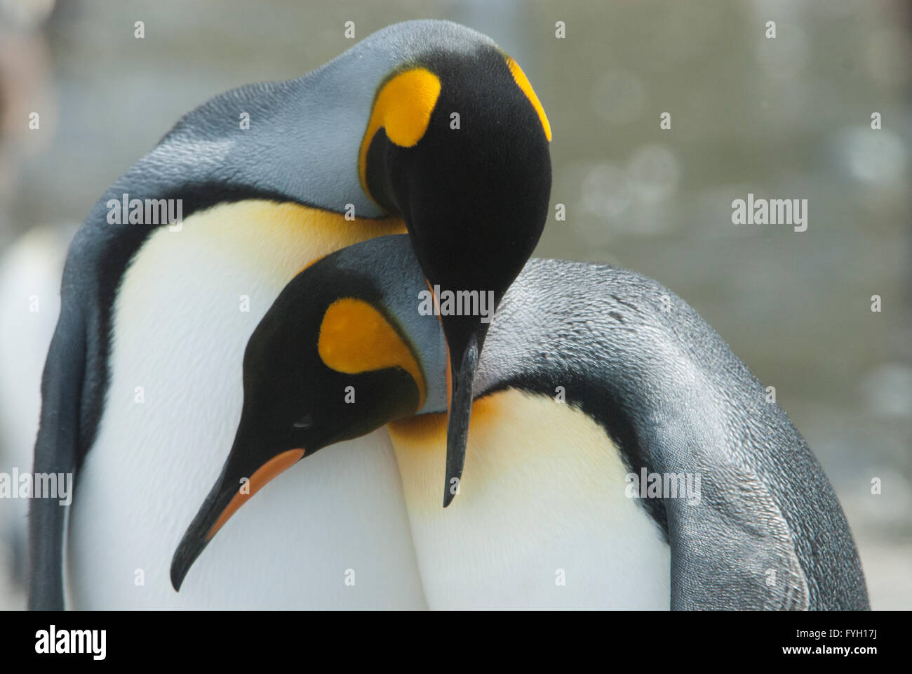 King penguin in South Georgia - Stock Image